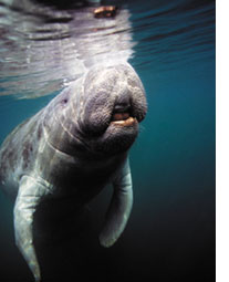 Manatee in belize