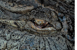 Crocodile_eye